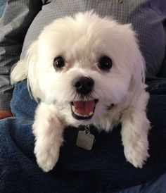 Jo Tompkins and Kelsey Kramer have a high-energy Maltese named Kirby. Cute Puppy Pictures, Animal Pictures, Happy Animals, Cute Animals, Puppy Care, High Energy, Dog Owners, Cute Puppies, Malteser