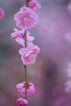 ume (plum blossom) | flowers + nature photography