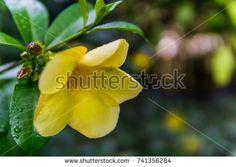 https://www.shutterstock.com/image-photo/allamanda-flower-741356284?src=MDc6WB28dIsUXne3mWdJJA-1-2