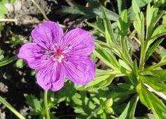 File:Geranium soboliferum - Botanical Garden in Kaisaniemi, Helsinki - DSC03588.JPG
