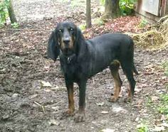 Classified pets for sale may be a great location to list your American Black and Tan Coonhounds. Description from gotpetsonline.com. I searched for this on bing.com/images