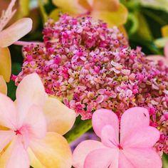 アジサイ��マクロ撮影��明石海峡公園��#花部 #ザ花部 #花写真 #花好きな人と繋がりたい #花好き #花が好きな人と繋がりたい #花 #はなまっぷ #東京カメラ部 #花の写真館 #flower #flowers #flowerstagram #flowerslovers http://gelinshop.com/ipost/1518761607717889261/?code=BUTuaKuhqTt