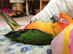aww, i love conures, such sweet, comical birds. Here's one caught being quiet!