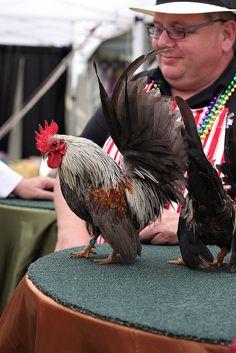 serama rooster?