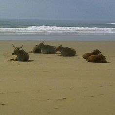 Cattle relaxing on the Beach at Hole In The Wall, near Coffee Bay, Eastern Cape, South Africa.