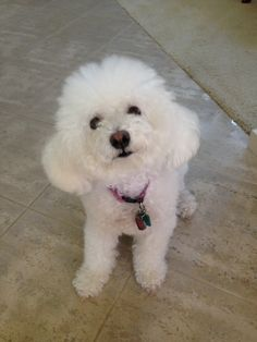 Bichon Frise, in French meaning curly lap dog. #DogBreeds