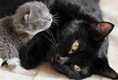 {Fur & Feather} Newborn grey kitten with sleek black mama cat Pretty Cats, Beautiful Cats, Cute Cats And Kittens, Kittens Cutest, Kittens Meowing, Ragdoll Kittens, Tabby Cats, Bengal Cats, Baby Animals