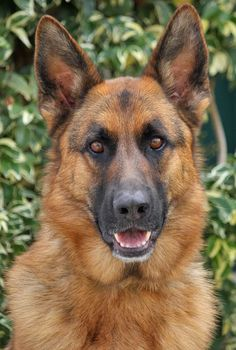 Kona von Kingsley from Westside German Shepherd Rescue of Los Angeles