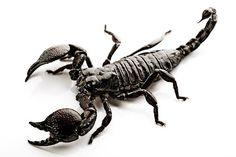 """Mackenzie - Scorpion - Je choisi cette photo parce que quand Erik parle aux Christine de son amour, il dit de chosi la desision qui dicide qui mort et qui pas. Il aussi dit que """"il y a deux boites  en bronze et un represente un scorpion, l'autre une sauterelle."""" (pg.69)"""