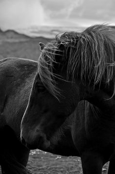 pearlkillers: icelandic horse {by me}