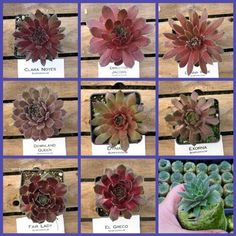 Cold Hardy Succulents from Etsy shop TheSucculentJungle Succulent Arrangements, Cacti And Succulents, Planting Succulents, Amor Ideas, Balcony Plants, Hardy Plants, Hens And Chicks, Desert Plants, Farm Gardens
