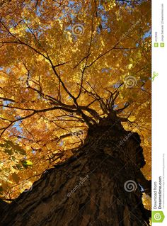 tree canopy | More similar stock images of ` Mapple tree canopy `