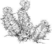 Ariocarpus Fissuratus or Living Rock Cactus Coloring page