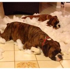 Naughty Boxer Pups - destroyed my sofa cushion grrrr!!