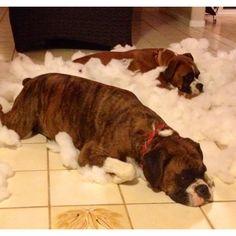Hahaha........Naughty Boxer Pups - destroyed my sofa cushion grrrr!!
