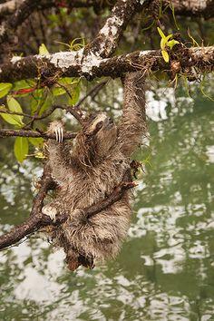 Week in wildlife: pygmy three-toed sloth