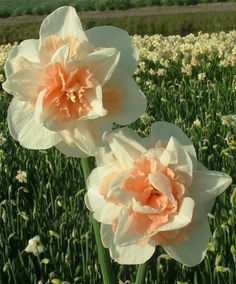 "Double Narcissus Delnashaugh - Later-flowering 'Delnashaugh' has a 4"" creamy-white perianth adorned with short, frilled, apricot-pink cup segments."