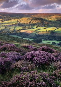 Beautiful sight of Heather ~ North Yorkshire, England.