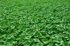 Lotus Flower Plant · Free photo on Pixabay Lotus Leaves, Green Leaves, Lotus Flower, Free Photos, Planting Flowers, Herbs, Plants, Boxwood Garden, Gardens