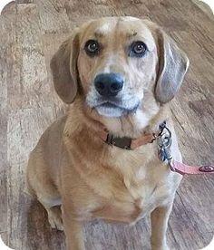 Livonia, MI - Labrador Retriever/Retriever (Unknown Type) Mix. Meet Buttons-Ie Litter (CBW-A), a dog for adoption. http://www.adoptapet.com/pet/13397309-livonia-michigan-labrador-retriever-mix