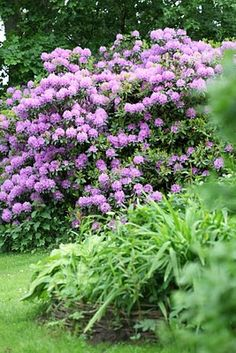 Still deciding whether i like the huge rhododendron effect for a garden... The good news is it's easy to do in WA.