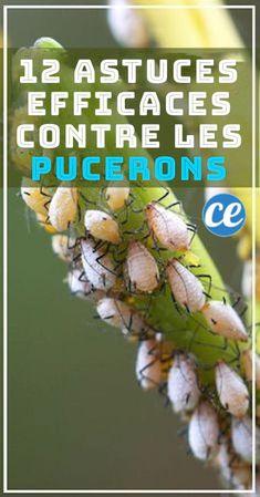 12+Trucs+Super+Efficaces+Et+Naturels+Pour+Dire+Adieu+Aux+Pucerons+Rapidement.