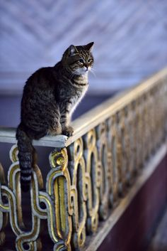 https://flic.kr/p/G1NVJY | The famous Hagia Sophia Cat | My pictures at  GettyImages and SeenBy  © Andreas Mezger   Nikon D810 with Nikkor 85mm/1.4D: 85mm - ISO1600 - 1/60 - f1.4