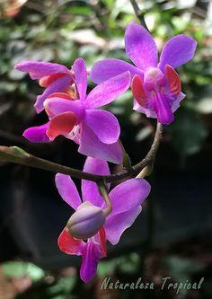 Floración de una especie de orquídea del género Doritis