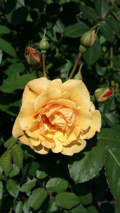 Westerland | Flickr - Photo Sharing! Kordes Rosen, Shrubs, Plants, Climber, Germany, Gardening, Group, Collection, Beautiful