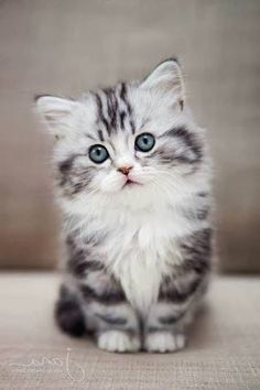 Cat love 🧡🧡🧡 cuddly cats - Cats and kittens - cute kitten - baby cat - beautiful cats - cat too cute # chatmart - ChatJadore 💛/Thème Chats - - Amour de chat 🧡🧡🧡 chats calin – Chats et chatons- chaton mignon -bébé chat -beaux chats- chat trop mignon Cute Baby Cats, Cute Cats And Kittens, Cute Baby Animals, Funny Animals, Funny Cats, Adorable Kittens, Ragdoll Kittens, Tabby Cats, Baby Kitty