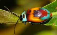 Leaf Beetle of Equador Leaf Beetle, Beetle Insect, Beetle Bug, Cool Insects, Bugs And Insects, Small World, Equador, Beautiful Bugs, Beautiful Creatures