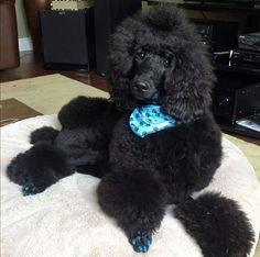 French Poodles, Standard Poodles, Poodle Cuts, Labradoodle, Schnauzer, Sweet Girls, Mans Best Friend, Dog Grooming, Dog Life