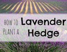 Preserving Your Harvest - Harvesting Lavender How to plant a lavender hedge for a beautiful garden windbreak Slugs In Garden, Garden Pests, Organic Gardening, Gardening Tips, Organic Supplies, Starting A Garden, Hedges, Compost, Vegetable Garden