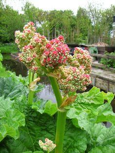 Rabarber - Diana's mooie moestuin Garden Plants, Eco Friendly, Vegetables, Diana, Gardening, Amsterdam, Buildings, Cottage, Houses