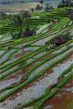 visitheworld:      Jatiluwih Rice Terraces in Bali, Indonesia (by claude gourlay).