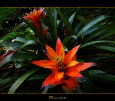 Bromeliads In The Yard | Flickr - Photo Sharing!