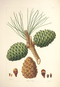 pine cones with branch Pinus pinea. A description of the genus Pinus London :J. Illustration Botanique, Plant Illustration, Botanical Illustration, Vintage Botanical Prints, Botanical Drawings, Botanical Art, Watercolor Sketchbook, Exotic Plants, Fauna