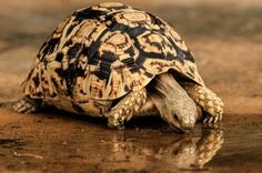 Leopard tortoise.. ....Finally! I thought you'd never.get here! Long long time no see!