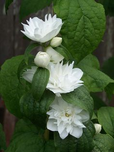 Mock Orange Bush - A very beautiful flowering bush that is also highly fragrant.
