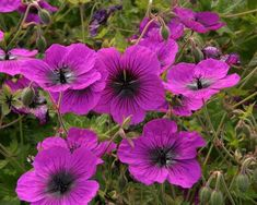 Geranium 'Dragon Heart' Pot size: 1 Litre Plant size: 45cm (18in) Growing condition: Partial - full shade Flowering season: June July August September