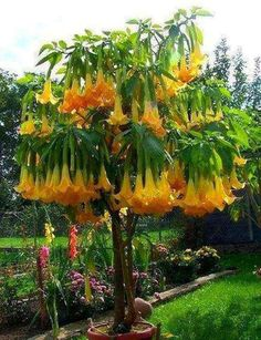 Brugmansia, commonly known as Angel's Trumpet.
