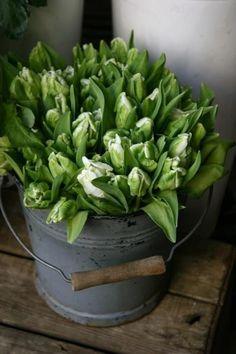 tulips garden care bucket of parrot tulips / green and white Tulips Garden, Parrot Tulips, Planting Flowers, Arrangements Ikebana, Flower Arrangements, White Tulips, White Flowers, Farmhouse Garden, White Farmhouse