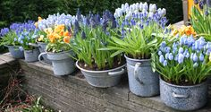 Small Balcony...small spaces Potted Flowers, Bulb Flowers, Potted Plants, Flower Pots, Spring Flowering Bulbs, Spring Bulbs, Garden Bulbs, Garden Plants, Planting Bulbs