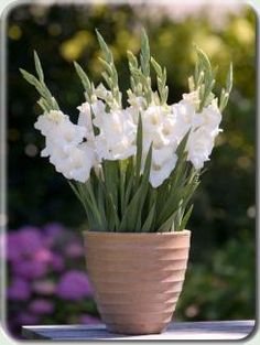 My lovely maid of honor gave me the great idea of having potted plants as centerpieces (they're generally less expensive than cut flowers). Here's a gladiolus. (Imagine it in peach/orange.)