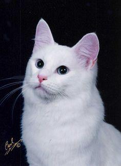 TURKISH ANGORA CATS - Antioch Turkish Angoras