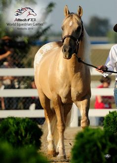 Appaloosa Horses for Sale | Tattoos Dun It, Appaloosa Stallion in Florida., Somebody buy him for me???