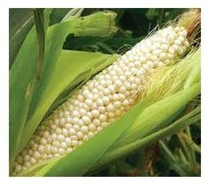 """COUNTRY GENTLEMAN CORN 95 days - A delicious, old fashioned shoe peg variety first introduced in 1890. The 7 foot stalks yield irregularly spaced, 7"""" ears of white kernels. It makes the best creamed corn ever, but also excellent on the cob! - PKT. - 1.5 oz. (approximately 225 seeds)"""