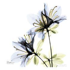 Blue Twin Azalea in Bloom Affiches par Albert Koetsier sur AllPosters.fr