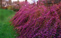Issai Purple Beautyberry Bush - Callicarpa dichotoma 'Issai' - 3 Gallon - Beautyberry Shrubs