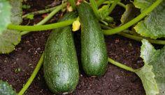 Pepinos o calabacines: Semillas enterradas por lo menos a una profundidad 3 veces el diámetro de la semilla. Estas tienden a ser bastante grandes, haz un hoyo de media pulgada (1,3 cm) y cúbrela. Si estás trasplantando, haz el hoyo del tamaño de una pelota y suavemente peina un poco las raíces, ponlas en el orificio y luego riégalas bien. Pueden crecer bastante así que plántalas con al menos 12 pulgadas (30 cm) de distancia. Comienzan a germinar a los 30 días, y podras comerlos en 60.